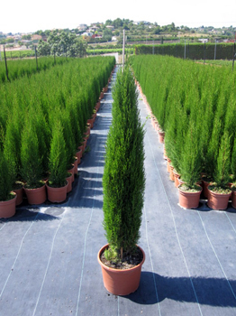 Cupressus sempervirens Gracilis segnalata da Flormagazine  una pianta dallaspetto ornamentale e lassenza di frutti, selezionata dalla spagnola Viveros Levante (www.viveroslevante.net). L&#8217;assenza di potatura e la mancanza di frutti di questa variet riduce i costi di manutenzione. Cupressus sempervirens Gracilis raggiunge un&#8217;altezza di 3 metri con una base di circa cm 70, fogliame ampio e denso, liscio e di colore verde brillante. Il suo aspetto esercita una potente attrazione in giardino e deve essere posta in un punto focale predominante. Sopporta i geli, la siccit, il vento, l&#8217;inquinamento. Vive meglio al sole, ma tollera le semi-ombre; resiste a climi freddi, sino a -18C. Molto rustica, prospera in qualsiasi tipo di suolo, eccetto quelli molto inondati e salini.